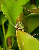 Red-eyed treefrog, Agalychnis callidryas. Villa Lapas, near Herradura, Costa Rica