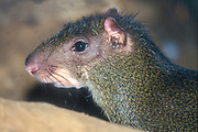 The agouti or common agouti is any of several rodent species of the genus Dasyprocta. They are native to Middle America, northern and central South America, and the southern Lesser Antilles.