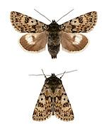 73.256 (2144)<br /> Broad-bordered White Underwing - Anarta melanopa