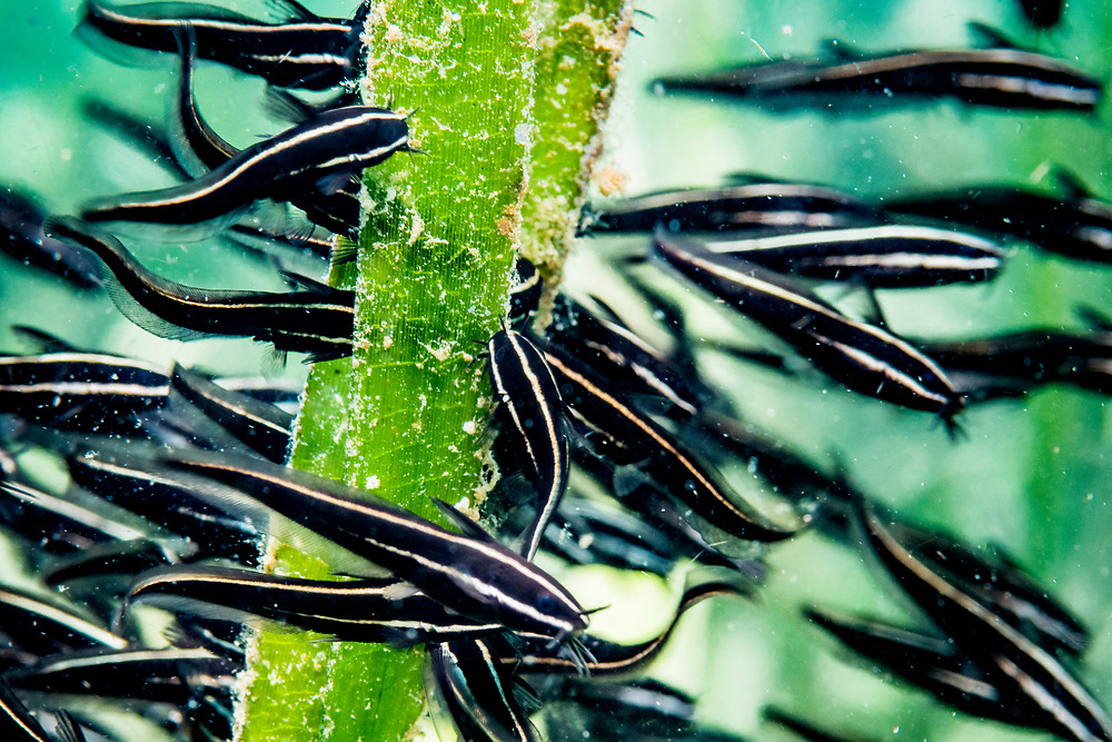 Striped catfish eat algae growing on seagrass blades in Indonesia. Seagrass acts a nursery ground for this and many other fish species.