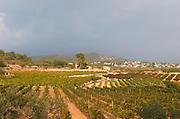 Vineyard. Mas Vilella Jane Ventura, El Vendrell, Tarragona, Catalonia, Spain.