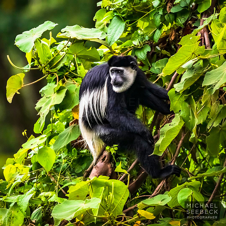 This mantled guereza, (Colobus guereza) was captured high up in the hills of the Bwindi Impenetrable Forest, in western Uganda. These are one of the eight related species of black and white Colobus monkeys.<br /> <br /> 1:1 Open Edition Square Print and Rights-managed stock image.<br /> <br /> Code: SFUW0001
