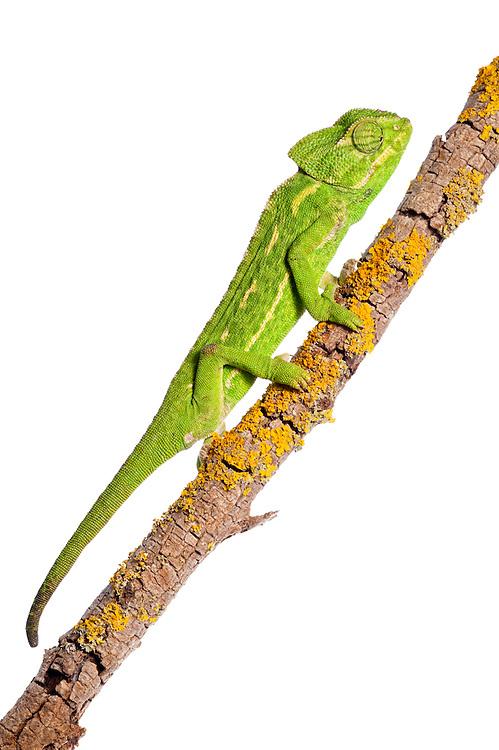 Common chameleon, Chameleo chameleon, Spain
