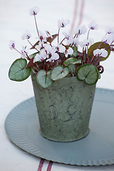Cyclamen coum Silver leaf form in a metal pot