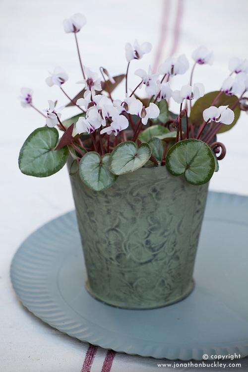 Cyclamen coum Silver leaf form in a metal pot