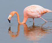 American flamingo (Phoenicopterus ruber) feeding in a lagoon near Puerto Villamil. Puerto Villamil, Isabela, Galapagos, Ecuador