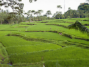 Bright green paddy rice growing in terraces in Tetebatu village, Lombok, Indonesia