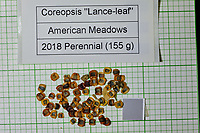 Lance-leaf Coreopsis seeds from American Meadows. Image taken with a Fuji X-H1 camera and 80 mm f/2.8 macro lens + 1.4x teleconverter