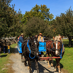 Lancaster, PA - October 12, 2012: A pair of draft horses pull a wagon at the Landis Valley Village & Farm Museum in Lancaster County, PA.