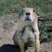 An adult Black-tailed Prairie Dog (Cynomys ludovicians) in Montana.