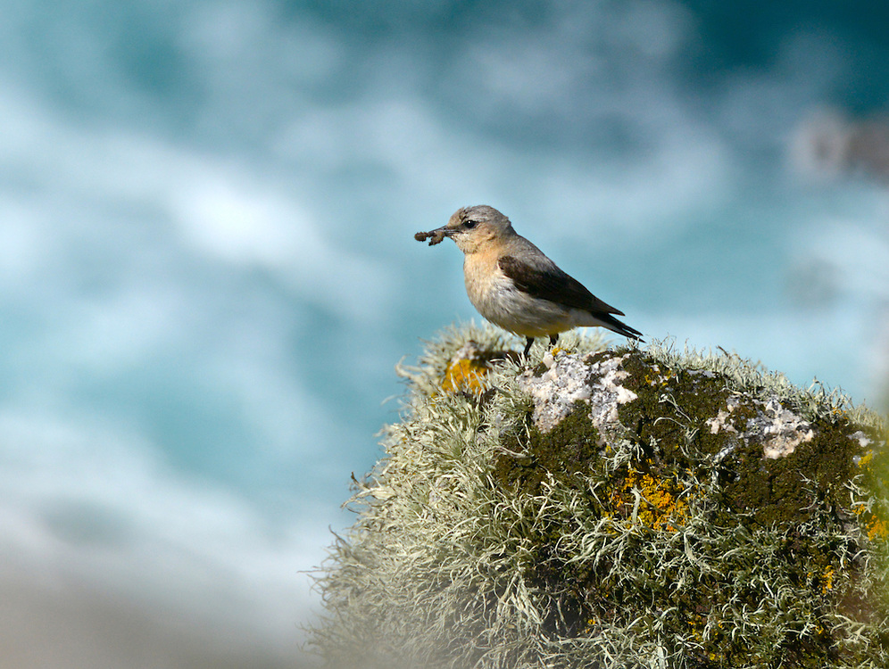 Northern Wheatear - Oenanthe oenanthe - female. L 14-16cm. Open-country bird. Reveals white rump and black-and-white tail in flight. In other respects, sexes are dissimilar. Adult male has blue-grey crown and back, black mask and wings, and pale underparts flushed orange-buff on breast. Adult female has mainly grey-brown upperparts, darkest on wings. Face, throat and breast are pale orange-buff and underparts are otherwise whitish. 1st winter birds have grey- to buffish brown upperparts and buffish underparts. Voice Utters a sharp chak alarm call, like two pebbles knocked together. Song is fast and warbling. Status Locally common summer visitor to moors and open grassland.