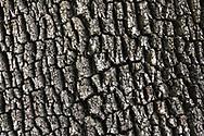 Garry Oak (Quercus garryana) bark.  This tree grows along the shore at Daffodil Point in Burgoyne Bay Provincial Park on Salt Spring Island, British Columbia, Canada
