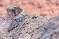 The plateau side-blotched lizard (Uta stansburiana uniformis) is one of five distinct subspecies of the side-blotched lizard found across the western United States, found only in Eastern Utah, Western Colorado, Northeastern Nevada and the extreme northwestern tip of New Mexico. Unlike its boldly-patterned cousins found to the south, west and southwest, the plateau side-blotched lizard tends to have a more spotted pattern, characterized by many tiny blue spots, unique to this subspecies. This one was photographed in Eastern Utah's Moab Desert after a sudden summer storm.