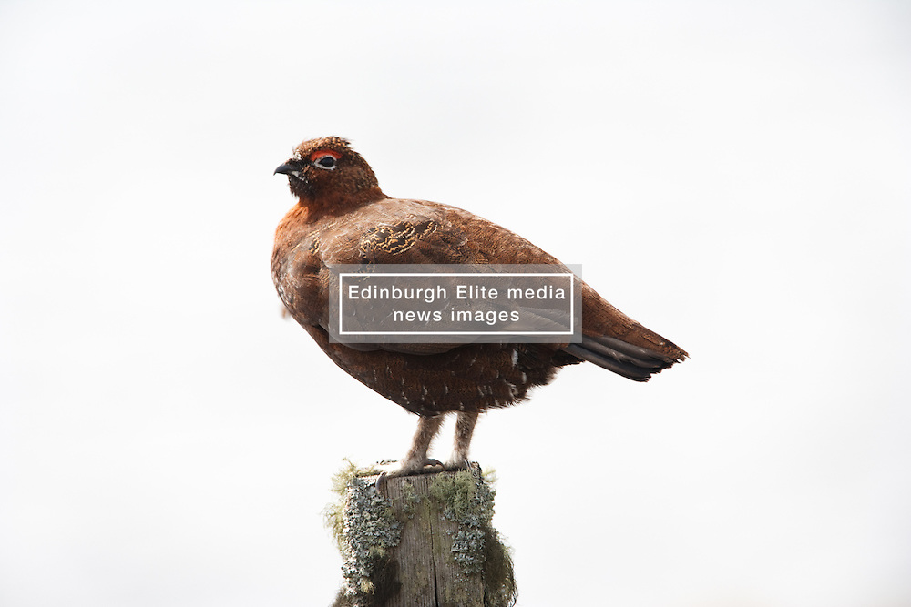 Red Grouse living before the start of the hunting season on the so called Glorious Twelfth of August (c) Peter Macdonald   Edinburgh Elite media