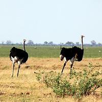 Africa, Botswana, Savute. Male Ostriches of Chobe national park.