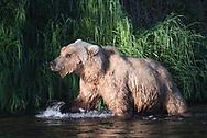 A brown bear on the Brooks River, Katmai National Park, Alaska