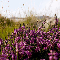 Heather in bloom, sgarasta beach, isle of Harris<br />