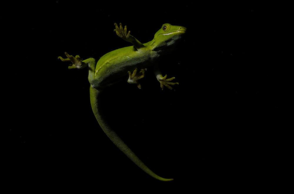 Auckland green gecko, Naultinus elegans elegans,