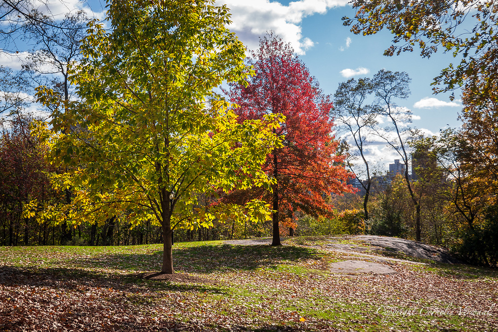 A bright red young Maple tree and a golden young Chestnut tree on the Great Hill in Central Park