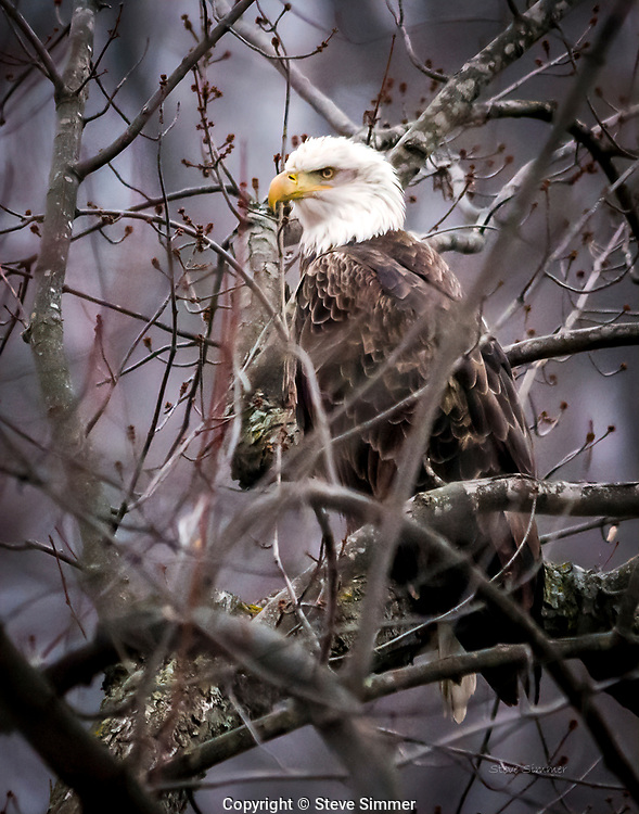 It was a rainy day in Colvlille Park near Red Wing, MN.  The resident eagles were hunkered down in the trees, safetly watching their domain while trying to remain inconspicuous.
