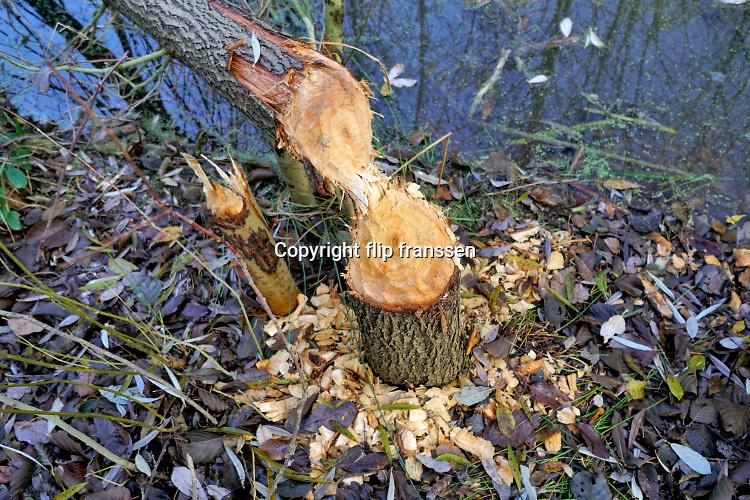 Nederland, Ubbergen, 3-12-2019 In een waterrijk deel van het dorp heeft zich een of meerdere bever,bevers, genesteld . Omgeknaagde bomen en modderdammen vormen hiervoor het bewijs. De bever heeft de waterloop aangepast door het aanleggen van dijken van klei en takken zodat het water gestegen is en bomen met de voeten onder water zijn gekomen . Foto: ANP/ Hollandse Hoogte/ Flip Franssen