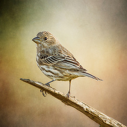 Female House Finch On Her Perch