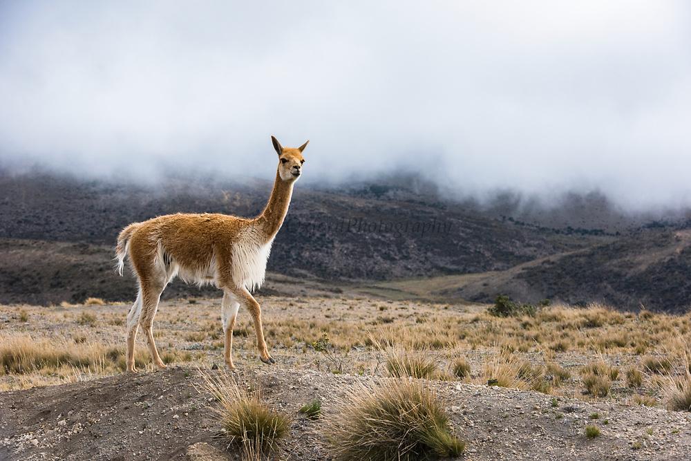 Vicuñu (Vicugna vicugna)<br /> Chimborazo National Park<br /> Chimborazo Volcano (Highest mountain in Ecuador 6384.4 meters or 20702 feet)<br /> Andes<br /> ECUADOR, South America<br /> Inactive Volcano