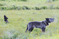 Adult wolf and young black pup howling