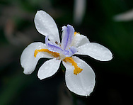 A Fortnight Lily, Dietes iridioides, grows in Dana Point, Calif., on Oct. 17, 2010. (© 2010 Cindi Christie/Cyanpixel Photography)