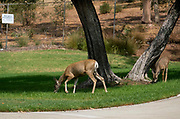 Deers are seen at residential area during a brushfire, Sunday, Sept. 3, 2017, in Burbank, Calif. Several hundred firefighters worked to contain a blaze that chewed through brush-covered mountains, prompting evacuation orders for homes in Los Angeles, Burbank and Glendale.(Photo by Ringo Chiu)<br /> <br /> Usage Notes: This content is intended for editorial use only. For other uses, additional clearances may be required.