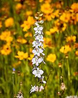 White Larkspur. Image taken with a Nikon N1V3 camera and 70-300 mm VR lens