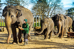 © Licensed to simonjacobs.com. 07/01/2014 Whipsnade, UK.  A keeper counts the Asian elephants, including the latest addition to the herd, 3 month old Max during the annual stocktake at Whipsnade Zoo.<br /> Home to more than 2,500 animals zookeepers take stock of every invertebrate, bird, fish, mammal, reptile, and amphibian.<br /> The compulsory count is required as part of the zoo's license, the results are logged and the data is shared with zoos around the world to manage international breeding programmes. Photo credit : Simon Jacobs