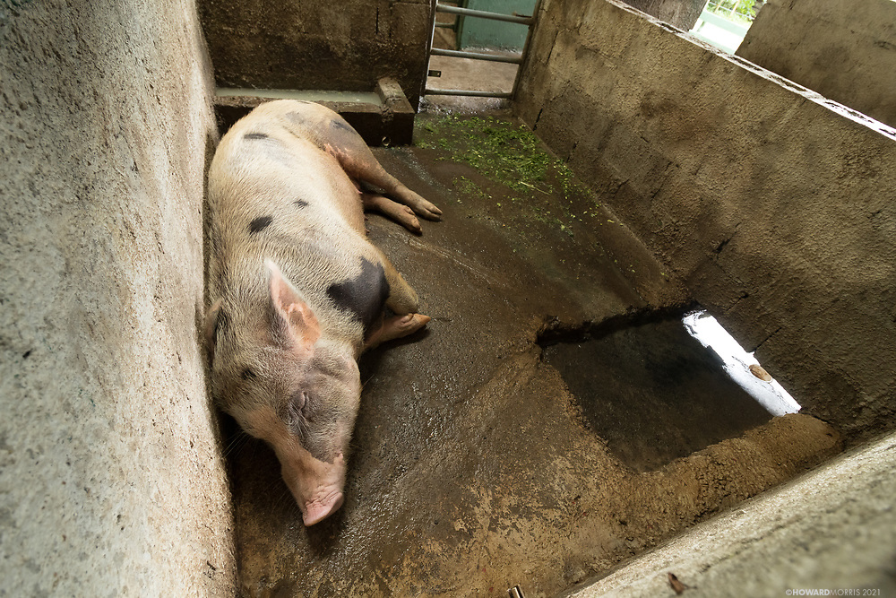 A large pig naps in its pen after a long day wandering around the coffee plantation. The farm animals at the plantation are kept for their manure, which is used to produce methane fuel. Monteverde, Costa Rica.