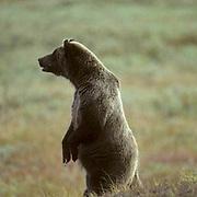 Grizzly (Ursus horribilis) Toklat sow standing up on hind legs to get better view, sensing danger to spring cubs. Denali National Park. Alaska.