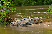American crocodiles (Crocodylus acutus) on the river bank. Photographed in Costa Rica.