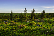 Mountain laurel dots the landscape among the Spring greens of the great blueberry heaths atop the Dolly Sods Wilderness in West Virginia.