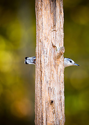 A Nuthatch pokes through the tree trunk in a humorous looking pose