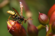 A paper wasp maneuvers around an orange trumpet vine in Seattle's Central District. Even wasps knock pollen around in flowers, which they defend by carrying off other bugs such as caterpillars to feed to their young. (Erika Schultz / The Seattle Times)<br /> <br /> <br /> 97028