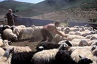 Italie. Sardaigne. Region de Burcei. Mont Sarabus. Tonte des moutons. // Shearing sheep. Burcei area. Sardinia. Italie.