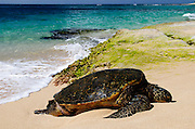 In this photo from Oahu there is a Hawaiian Green Sea Turtle, know as a Honu, sitting in the sand in front of a seaweed covered ledge.