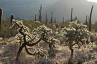 Chainfruit cholla, Opuntia fulgida, Organ Pipe Cactus National Monument, Arizona.