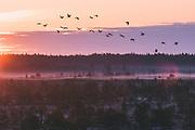 Flock of common cranes (Grus grus) flying over fog covered raised bog in sunrise, Kemeri National Park (Ķemeru Nacionālais parks), Latvia Ⓒ Davis Ulands | davisulands.com