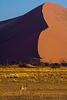 Springbok, Sossusvlei Sand Dunes (highest dunes in the world), Namib Desert, Namib-Naukluft National Park, Namibia