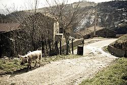 Corleto Perticara (PZ) 17.02.2009, Italy - Tempa Rossa - Speranze e realtà del giacimento Total in Basilicata. Antonio De Lorenzo, possiede un'Azienda Agricola in località Petrino, a ridosso dell'area interessata dal cantiere. Aveva circa 30 ettari di terreni ed ora gliene sono rimasti dieci. Possedeva 20 buoi, 50 capre e 50 pecore. Abitava nell'abitazione di pertinenza dell'azienda, ora ha dovuto trasferirsi in paese, a Corleto Perticara poichè il cuore dell'azienda ormai non c'è più, così come la sorgente dell'acqua ormai si trova nei terreni venduti. Nel ridimensionare l'azienda, gli sono rimaste circa 30 pecore che ogni giorno va ad accudire. Antonio De Lorenzo, è stato sentito dai giudici come persona informata sui fatti nell'ambito dell'inchiesta «Totalgate»: «Tra il 1989 e il 1990, pur essendo ancora un ragazzino, mi piaceva portare al pascolo una mandria di capre e vacche di proprietà di mio padre. All'epoca erano in corso i lavori di perforazione del pozzo Tempa Rossa 2, in contrada Serra d'Eboli. Erano state realizzate vasche dove venivano versati i rifiuti di perforazione, cioé i fanghi derivanti dall'attività petrolifera. Scarti che si trovavano a cielo aperto: vi era solo una recinzione a pali di castagno con un po' di filo spinato. Le mie vacche non riuscivano ad accadere all'area, mentre le capre si introducevano e alcune di esse hanno leccato i rifiuti. Dopo qualche giorno accusarono sintomi di impazzimento, poi scoprimmo che si trattava di una malattia che colpiva direttamente il fegato e lo spappolava».ll padre di De Lorenzo morì nel '95 per un tumore al cervello all'età di 43 anni. Seguirono altri decessi per cancro a breve distanza l'uno dall'altro, secondo quanto segnalato da De Lorenzo nella testimonianza: «Ricordo - aggiunge - che quando mio padre tornava dal pascolo in quei luoghi il suo alito puzzava di uova marce»..Un altro particolare inquietante: «All'epoca della realizzazione del pozzo Gorgoglione 1 - racconta De Lorenzo - i fanghi di