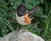 Spotted Towhee, Capulin Spring, Sandia Mountains, New Mexico.