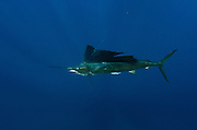 Atlantic Sailfish (Istiophorus albicans) Hooked by Fisherman<br /> Isla Mujeres<br /> MEXICO<br /> RANGE: Atlantic Oceans & Caribbean SEa