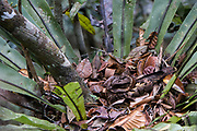 Collared nightjar (Gactornis enarratus)<br /> East Madagascar<br /> Mantadia National Park<br /> MADAGASCAR<br /> ENDEMIC