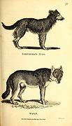 Wolf and Dog from General zoology, or, Systematic natural history Part I, by Shaw, George, 1751-1813; Stephens, James Francis, 1792-1853; Heath, Charles, 1785-1848, engraver; Griffith, Mrs., engraver; Chappelow. Copperplate Printed in London in 1800. Probably the artists never saw a live specimen