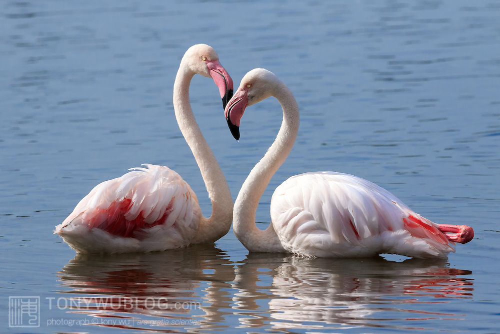 Pair of resting greater flamingoes (Phoenicopterus roseus), photographed near Cape Town, South Africa. Their long necks momentarily formed a heart shape.