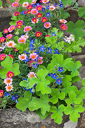 Argyranthemum 'Cherry Red' growing in a stone trough with Anagallis 'Angie Blue' and Pelargonium tomentosum
